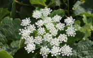 Queen Annes Lace 29 Free Hd Wallpaper