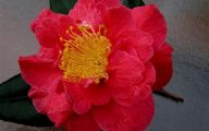 Red Camellia 12 High Resolution Wallpaper
