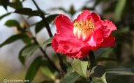 Red Camellia 14 High Resolution Wallpaper