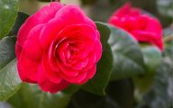 Red Camellia 16 Free Hd Wallpaper