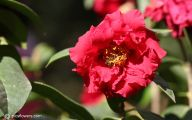 Red Camellia 18 Background