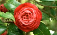Red Camellia 25 Background