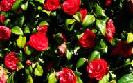 Red Camellia 31 Background Wallpaper