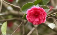 Red Camellia 39 Background Wallpaper