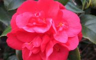 Red Camellia 8 Wide Wallpaper