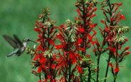 Red Cardinal Flower 15 Desktop Wallpaper
