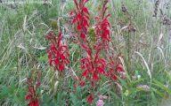 Red Cardinal Flower 25 Free Hd Wallpaper