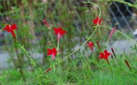 Red Cardinal Flower 33 Background