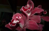 Red Cymbidium 1 Free Hd Wallpaper