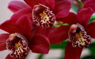 Red Cymbidium 16 Widescreen Wallpaper