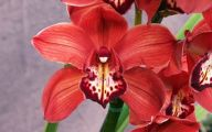 Red Cymbidium 33 Free Wallpaper