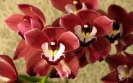 Red Cymbidium 40 Cool Wallpaper