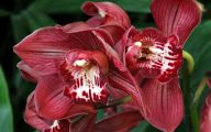 Red Cymbidium 41 Free Hd Wallpaper