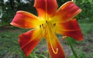 Red Daylily 11 Cool Hd Wallpaper