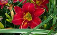 Red Daylily 14 Cool Hd Wallpaper