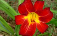 Red Daylily 19 Background Wallpaper