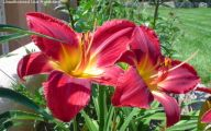Red Daylily 29 Widescreen Wallpaper