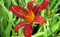 Red Daylily 5 Cool Wallpaper