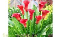 Red Flowers Calla Lily 13 Widescreen Wallpaper