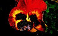 Red Pansies 1 Free Hd Wallpaper