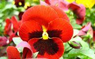 Red Pansies 2 Free Hd Wallpaper