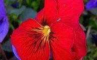 Red Pansies 24 Wide Wallpaper