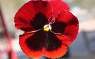 Red Pansies 5 Free Wallpaper