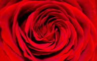 Red Rose Background 16 Background