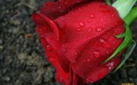 Red Rose Background 19 Widescreen Wallpaper