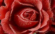 Red Rose Wallpaper For Walls 17 Free Hd Wallpaper