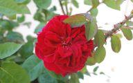 Red Rose Wallpaper For Walls 22 Free Hd Wallpaper