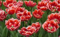 Red Tulips 11 Cool Hd Wallpaper