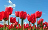 Red Tulips 12 Background Wallpaper