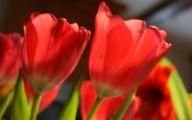 Red Tulips 16 Desktop Background