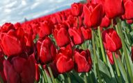 Red Tulips 2 Free Wallpaper