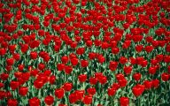 Red Tulips 20 Widescreen Wallpaper