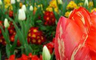 Red Tulips 26 Desktop Background
