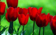 Red Tulips 4 Cool Wallpaper