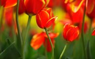 Red Tulips 8 Background Wallpaper