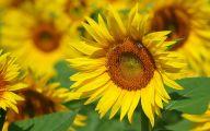 Sunflower Wallpaper 10 Widescreen Wallpaper