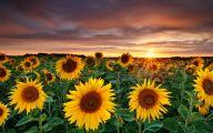 Sunflower Wallpaper 11 Wide Wallpaper