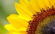 Sunflower Wallpaper 13 Desktop Wallpaper