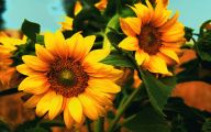 Sunflower Wallpaper 16 Desktop Background