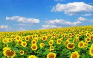Sunflower Wallpaper 19 High Resolution Wallpaper