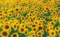 Sunflower Wallpaper 20 Desktop Wallpaper