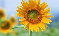 Sunflower Wallpaper 21 Free Hd Wallpaper