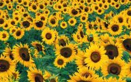 Sunflower Wallpaper 23 Background