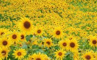 Sunflower Wallpaper 3 Wide Wallpaper