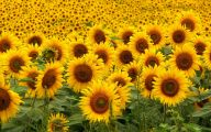 Sunflower Wallpaper 30 Cool Wallpaper