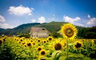 Sunflower Wallpaper 33 Desktop Background